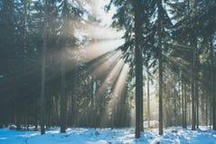太阳光芒在冬天森林里 库存图片