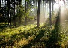 太阳光芒在森林里 免版税库存图片