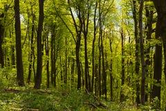 太阳光芒的绿色春天森林 免版税图库摄影