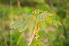 太阳光芒的绿色春天森林 免版税库存图片