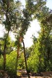 太阳光芒通过玉树分支 免版税图库摄影