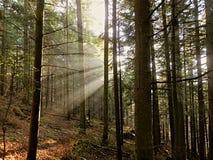 太阳光芒通过雾在森林里 免版税库存图片