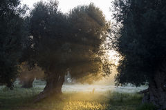 太阳光通过树 免版税库存照片