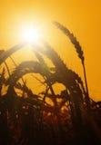 太阳升起在麦田 库存图片