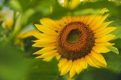 太阳发光向日葵 库存图片