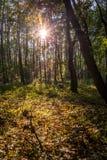 太阳发出光线穿过在秋天时间的树 库存图片