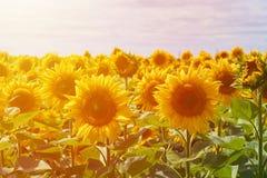 太阳向日葵的一个大领域 吃膳食和饲料的耕种动物的 大明亮的花太阳向日葵 免版税库存图片