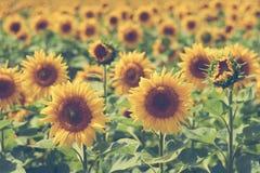 太阳向日葵的一个大领域 吃膳食和饲料的耕种动物的 大明亮的花太阳向日葵 免版税库存照片