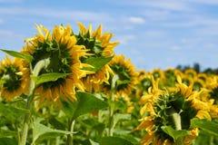 太阳向日葵的一个大领域 吃膳食和饲料的耕种动物的 大明亮的花太阳向日葵 库存照片