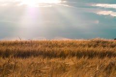 太阳和云彩照亮的麦田 库存图片