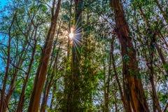 太阳和树在Dandenong排列,维多利亚,澳大利亚 免版税库存图片