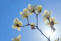 太阳和yulan花 库存图片