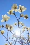 太阳和yulan花 库存照片