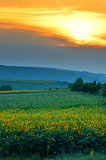 太阳在日落的花田 免版税库存图片