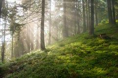 太阳在杉树中发出光线在森林里 库存照片