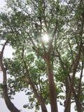 太阳在树发光 免版税图库摄影