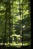 太阳在森林里点燃了树 库存照片