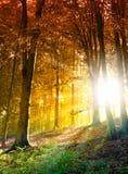 太阳在秋天森林里 免版税库存照片