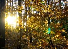 太阳射线在一个绿色森林里 免版税库存照片