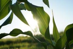 太阳射线的植物 库存照片