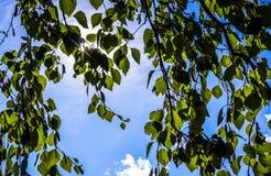 太阳射线通过桦树叶子  库存图片