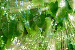 太阳射线通过榕树在早晨末期 免版税库存照片