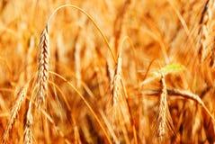 太阳成熟的麦子 库存照片