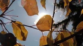 太阳断裂光芒通过叶子 股票录像