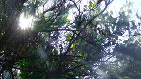 太阳断裂通过一棵发烟性树 股票视频
