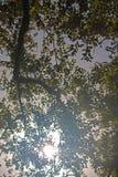 太阳树的通过被看见的叶子 库存图片