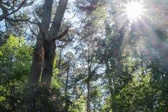 太阳火光在森林地 免版税库存照片