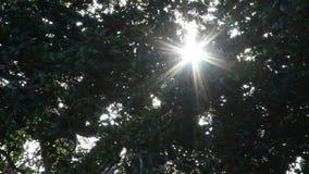 太阳火光通过在风的树 股票视频