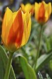 太阳点燃了红色和黄色郁金香反对被弄脏的背景 库存照片