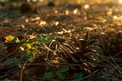 太阳点燃的杉木锥体 免版税图库摄影