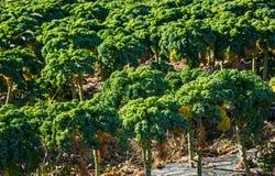 太阳点燃的领域的无头甘蓝植物 免版税库存照片