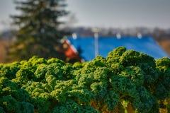太阳点燃的领域的无头甘蓝植物 图库摄影