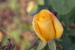 太阳点燃落在与绿色事假的黄色玫瑰 免版税库存照片