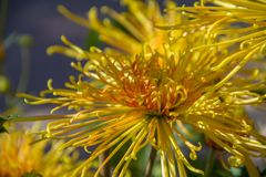 太阳照亮的一朵黄色和橙色蜘蛛菊花的美丽的特写镜头 免版税库存照片