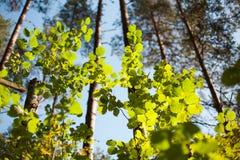 太阳照亮绿色叶子在春天 图库摄影