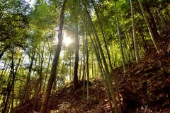 太阳照明设备通过竹森林 免版税图库摄影