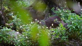 太阳熊在树动物园之间的森林里 在自然野生生物的亚洲蜂蜜熊 股票录像