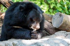 太阳熊 免版税图库摄影