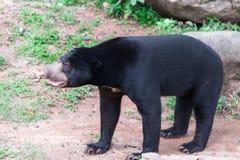 太阳熊Helarctos malayanus在开放动物园里 免版税库存图片