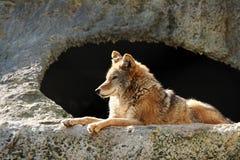 太阳狼 免版税库存照片
