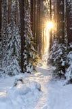 太阳的光芒在一个安静的冬天森林里 免版税库存图片