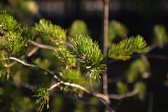 太阳的光芒在年轻杉树发光在森林里 免版税库存图片
