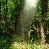 太阳的光芒穿过一个厚实的森林 库存照片