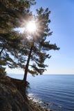 太阳的光芒穿过生长在峭壁的杉木的分支在海附近 库存图片