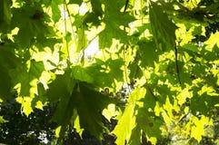 太阳的光芒通过树绿色叶子做他们的方式 免版税图库摄影