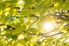 太阳的光芒通过椴树的叶子发光 库存照片